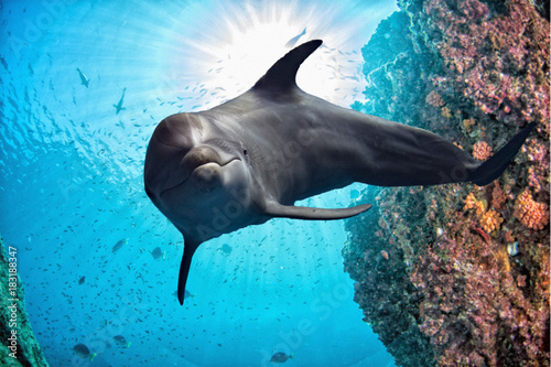 dolphin underwater on reef close up look
