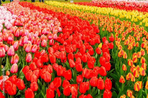 Aluminium Rood Colorful growing red, pink, red, orange tulips flowerbed in spring formal garden