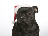 Christmas dog. American staffordshire bull terrier with Christmas hat. - 183195527