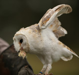 Close up of a Barn Owl having a snack