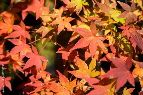 Deurstickers Koraal 紅葉の秋