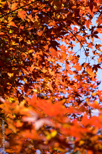 Foto op Plexiglas Rood paars 紅葉の秋