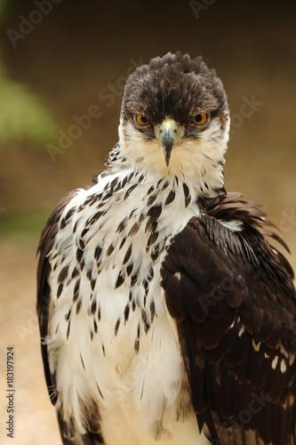 Plexiglas Eagle Portrait of an African Hawk Eagle