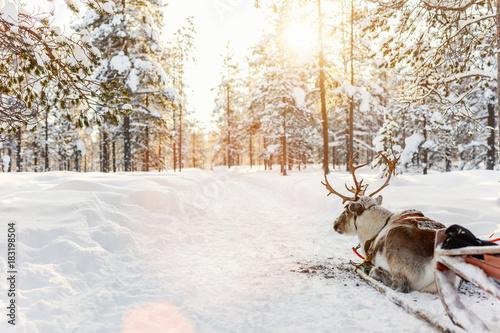 Staande foto Wit Reindeer safari