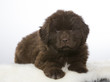 Newfoundland dog puppy portrait. The puppy is 7 weeks old fluffy dog. Image taken in a studio with white background.