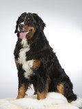 Bernese mountain dog in a studio. Image taken with white background. Big and beautiful dog. - 183200366