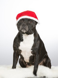 Christmas dog. American staffordshire bull terrier with xmas hat. - 183200591