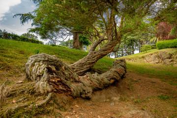The city of Vigo. An unusual tree in the city park. Galicia. Spain.