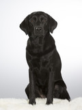 Black labrador dog portrait. Image taken in a studio with white background. - 183200759