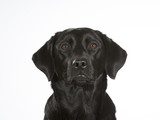 Black labrador dog portrait. Image taken in a studio with white background. - 183200763