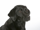 Black labrador dog portrait. Image taken in a studio with white background. - 183200771