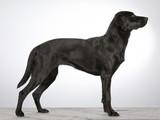 Black labrador dog portrait. Image taken in a studio with white background. Side portrait. Standing dog. - 183200791