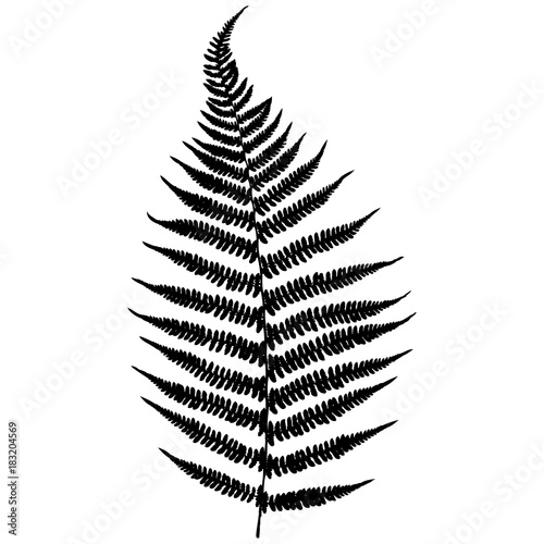 Forest fern. Black isolated silhouette on white background. Vector illustration. - 183204569