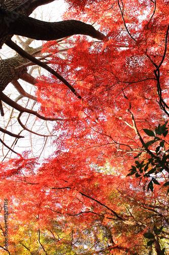 Deurstickers Koraal 鎌倉 獅子舞の紅葉