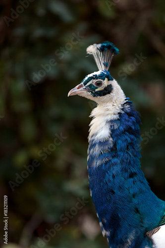 Aluminium Pauw The Indian peafowl, Blue peafowl