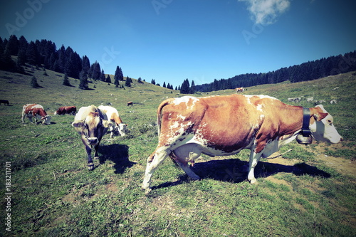 cows grazing in the meadow with vintage effect