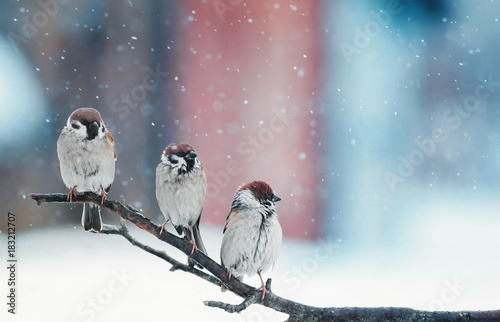funny little birds sitting on a branch in the snow on Christmas day