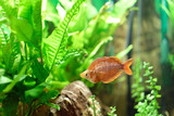 Exotic flat red fish with scales in the aquarium among the bright green algae - 183213584