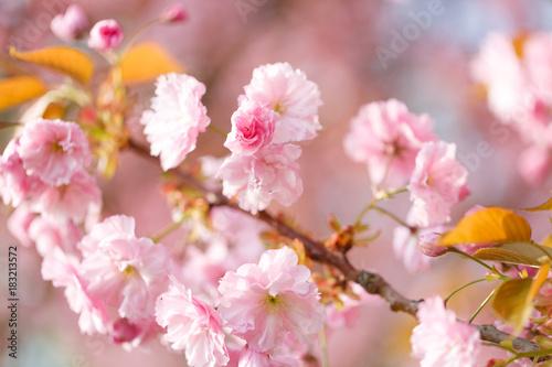 Plexiglas Kersen sakura flowers cherry blossoms