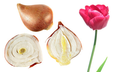 Pink tulip flower with tulip bulb in the section isolated on white background