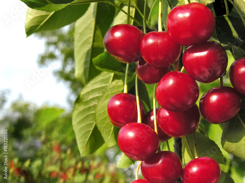 Fotobehang Kersen close-up of ripe cherries on a tree in the garden