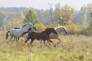 a herd of horses gallops