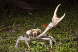 Blue land crab (Cardisoma guanhumi) in defensive posture at night, Caye Caulker Island, Belize, Central America - 183231380