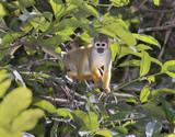 Squirrel monkey (Saimiri sciureus) in rainforest canopy, Pacaya Samiria National Reserve, Yanayacu River, Amazon area, Peru - 183235553
