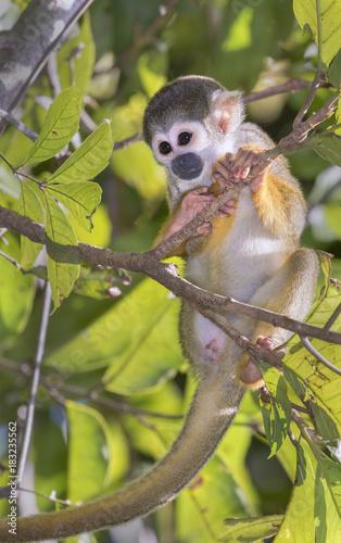Plexiglas Aap Squirrel monkey (Saimiri sciureus) in rainforest canopy, Pacaya Samiria National Reserve, Yanayacu River, Amazon area, Peru