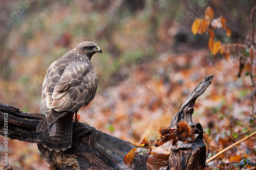 Fotobehang Natuur Buzzard perched on a branch