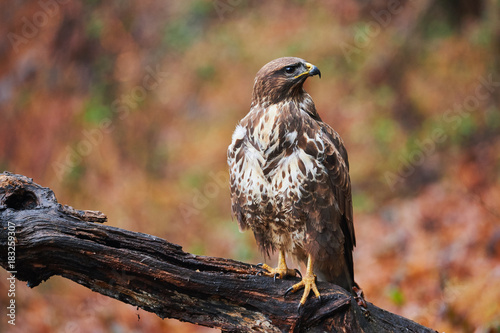 Buzzard perched on a branch Poster