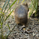 Adorable large wombat during the day looking for grass to eat - 183278159