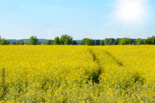 In de dag Oranje Bright yellow canola field under blue sky summer day