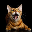 Aggressive Bengal Cat with mad eyes opened mouth hiss on isolated on Black Background, Front view
