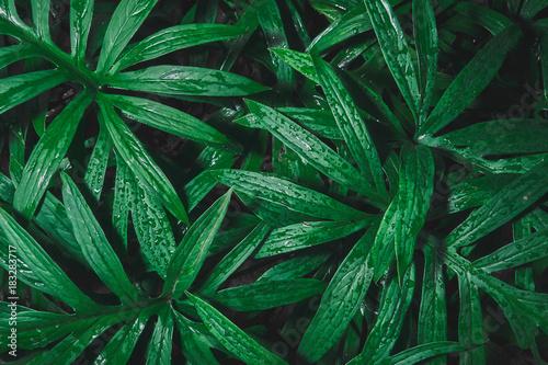 Foto Murales rain drop on tropical green leaf textures,dark tone nature background