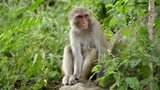 A female macaque sits on a rock in the jungles of Asia. In the forests of Nepal there live many wild monkeys - 183285793