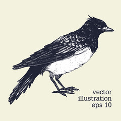 Vector graphic illustration of bird. Skylark hand drawn illistration. Vintage style.