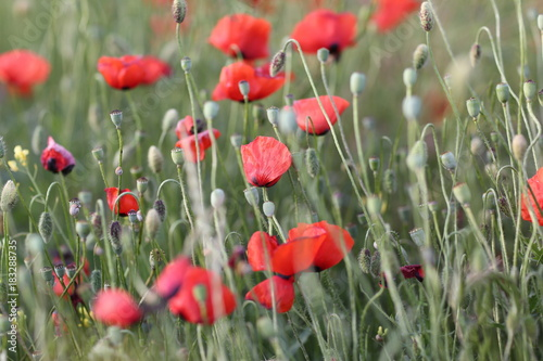 Blooming red poppy field in June on the peninsula of Crimea