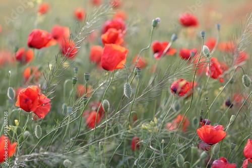 Staande foto Klaprozen Blooming red poppy field in June on the peninsula of Crimea
