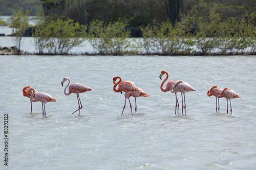 Flamingos at Curacao