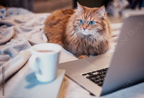 Plexiglas Kat beautiful red fluffy cat lying on the bed with a laptop smartphone and a cup of coffee