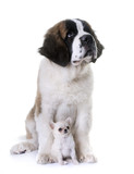 puppies saint bernard and chihuahua - 183295778