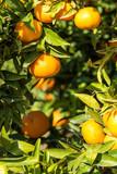 Ripe juicy orange mandarin on a tree - 183296145