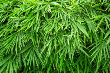 Bamboo leaves with sunlight background