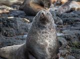 Large furry seal looking at camera - 183303129