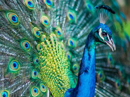 Aluminium Pauw Peakcock close up with feathers splayed