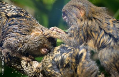 Fotobehang Aap Primates cleaning eachother