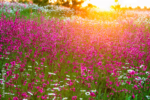 Plexiglas Lente summer landscape with flowers on a meadow and sunset