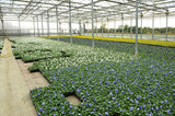 Violets cultivation in greenhouse - 183330927