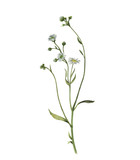 Watercolor illustration of field plant isolated on white background. Blossom flower.